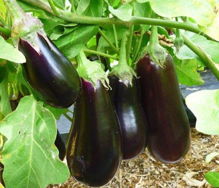 Несколько советов по выращиванию баклажанов